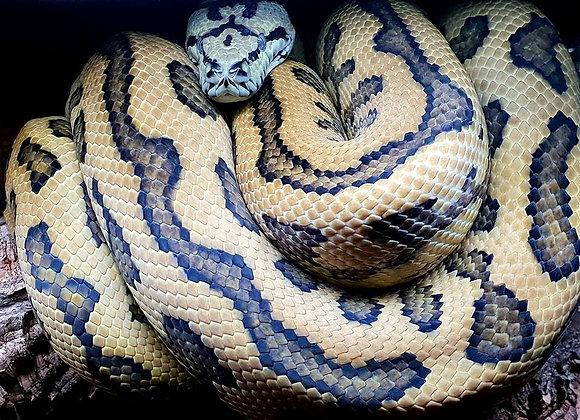 Male Jungle Jaguar Carpet Python