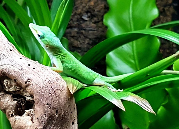 Trio of Green Anoles
