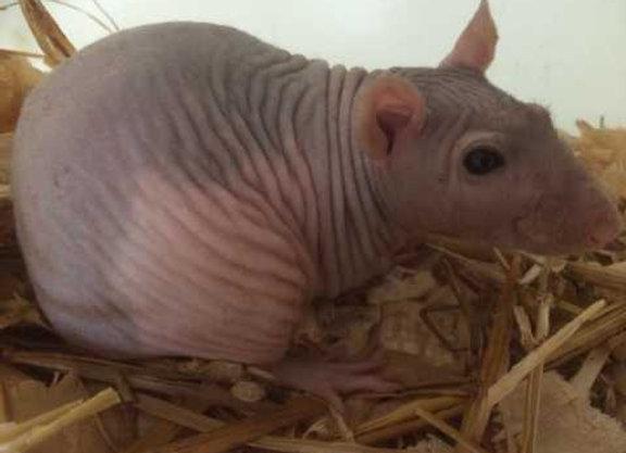 Male Naked Rat