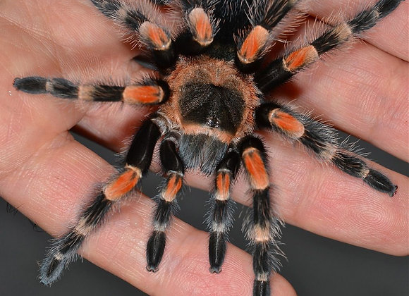 Mexican Red Knee sling