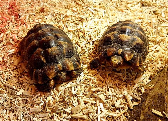 Moroccan Spur thigh tortoise 2014