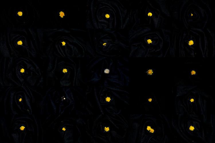 Twenty-six of the Dandelions Killed Today, April 24, 2020
