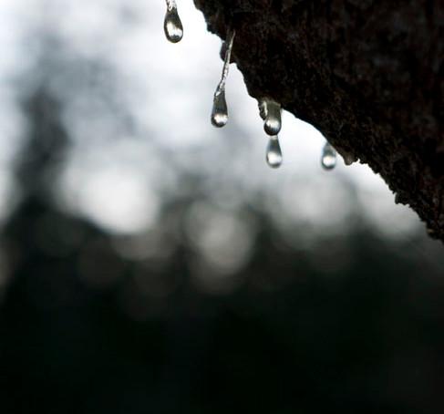 Tree Tears