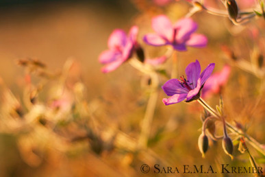Gilded Geranium