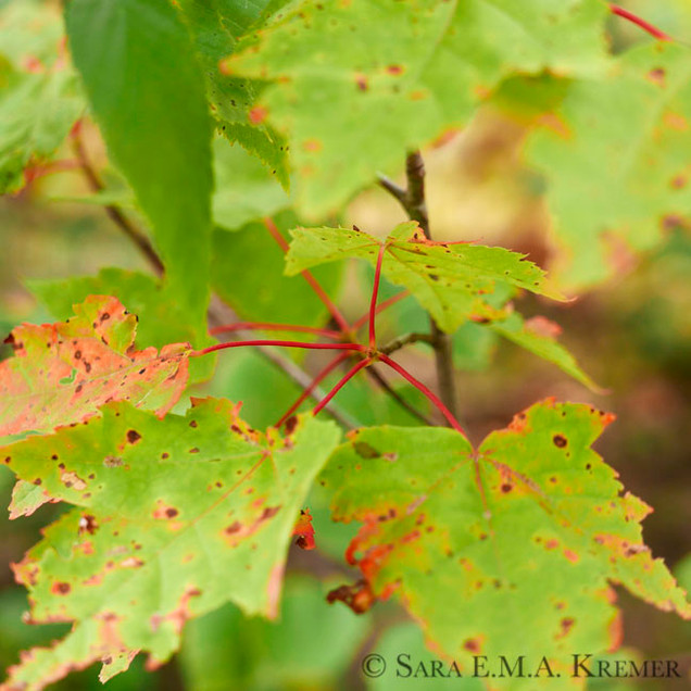 Maple Petioles