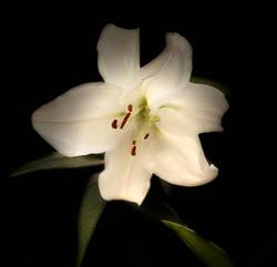 Oriental Lily White