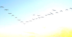 BE MORE GOOSE: 'The V-formation works as well in the as animal kingdom, as it does for humans'