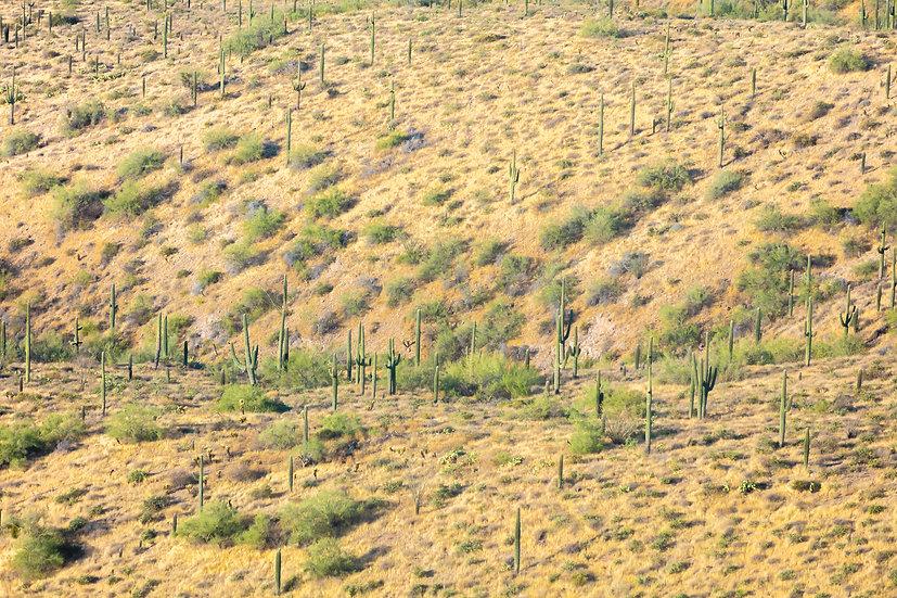 Arizona XVIII