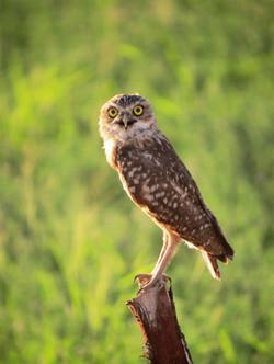 Burrowing Owl in Blythe, CA