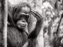 Thinking Oragutan in Borneo