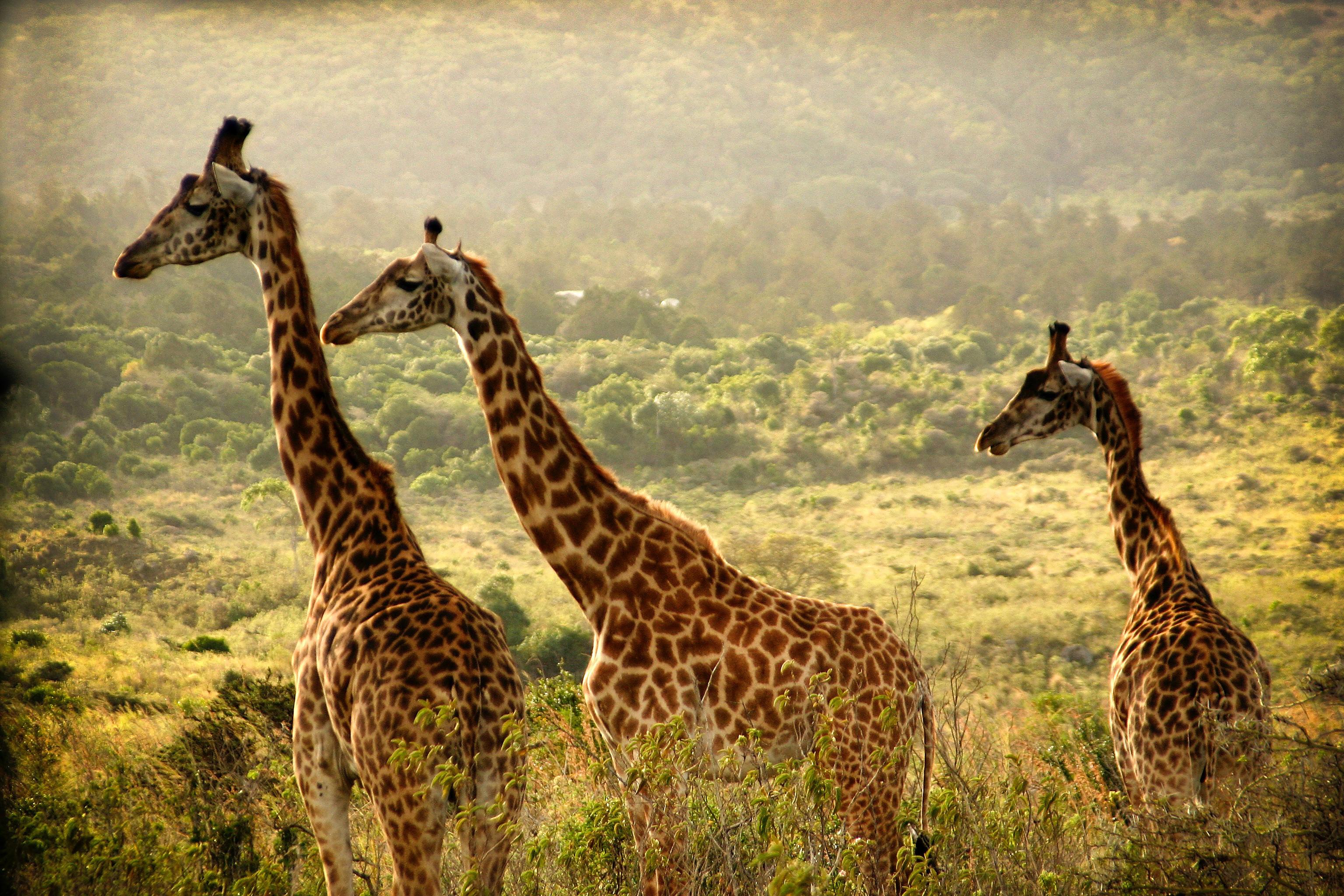 Three giraffes in the Ngorongoro