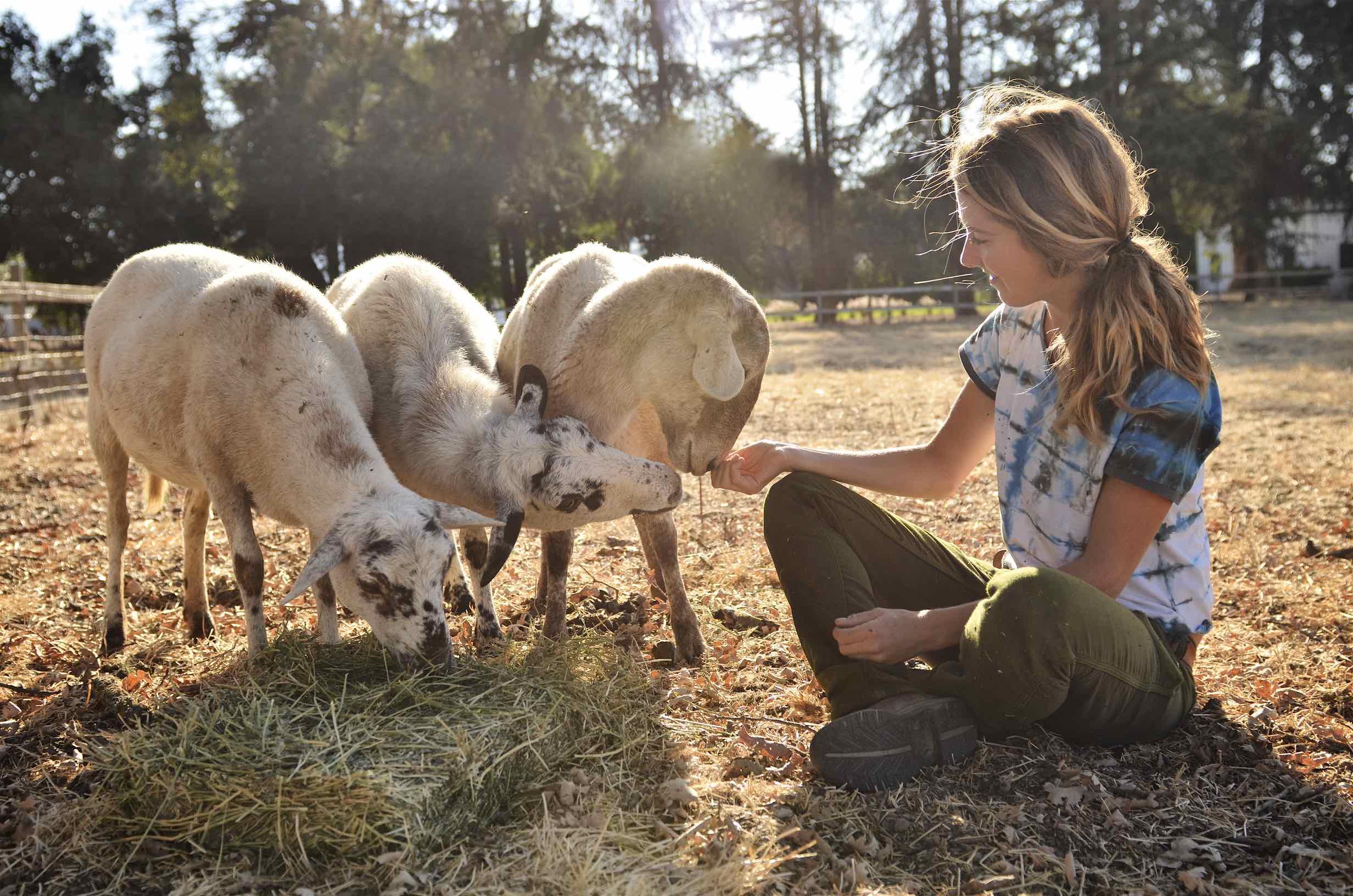 Sheep at Paicines Ranch