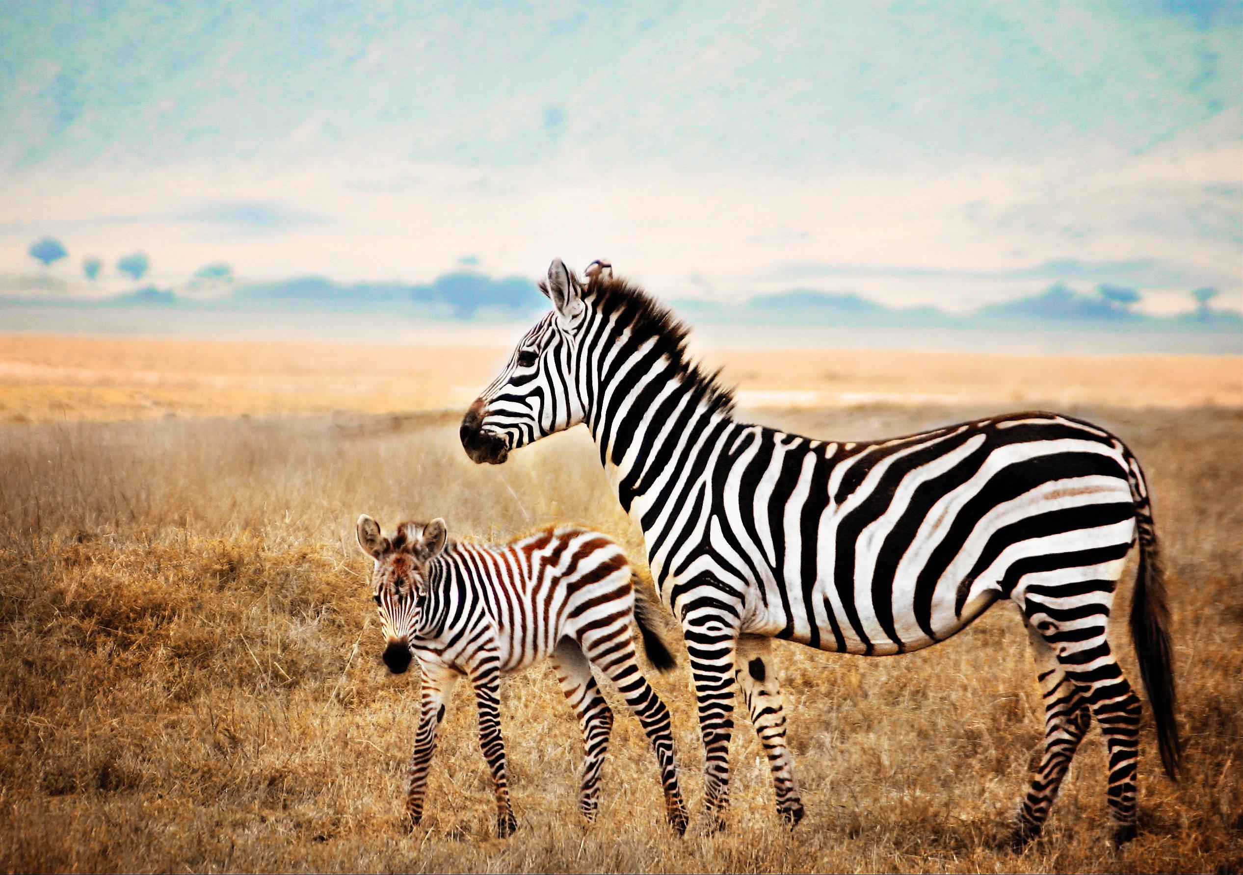 Mama & Baby Zebra Ngorongoro  Crater