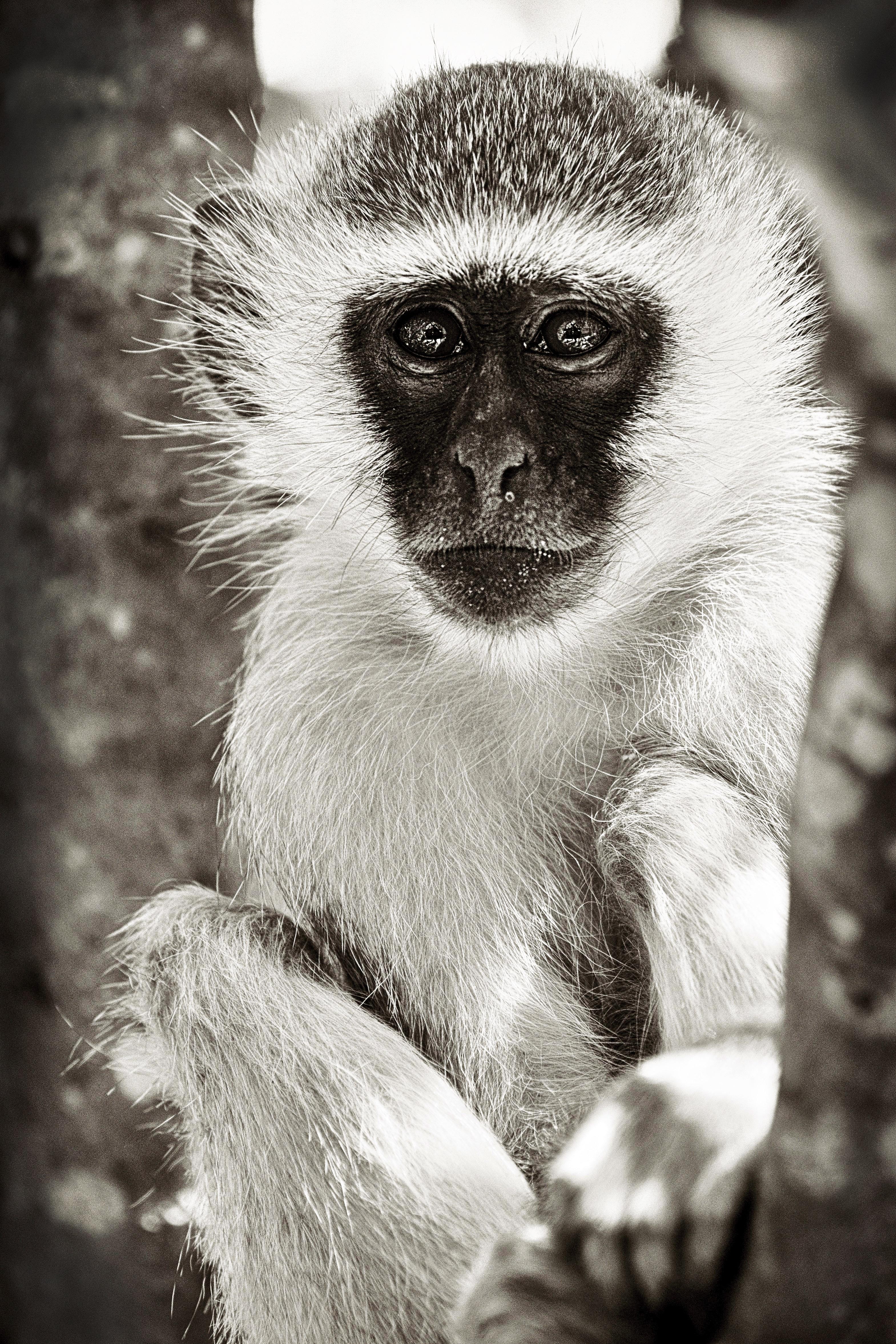 Vervet Monkey in South Africa
