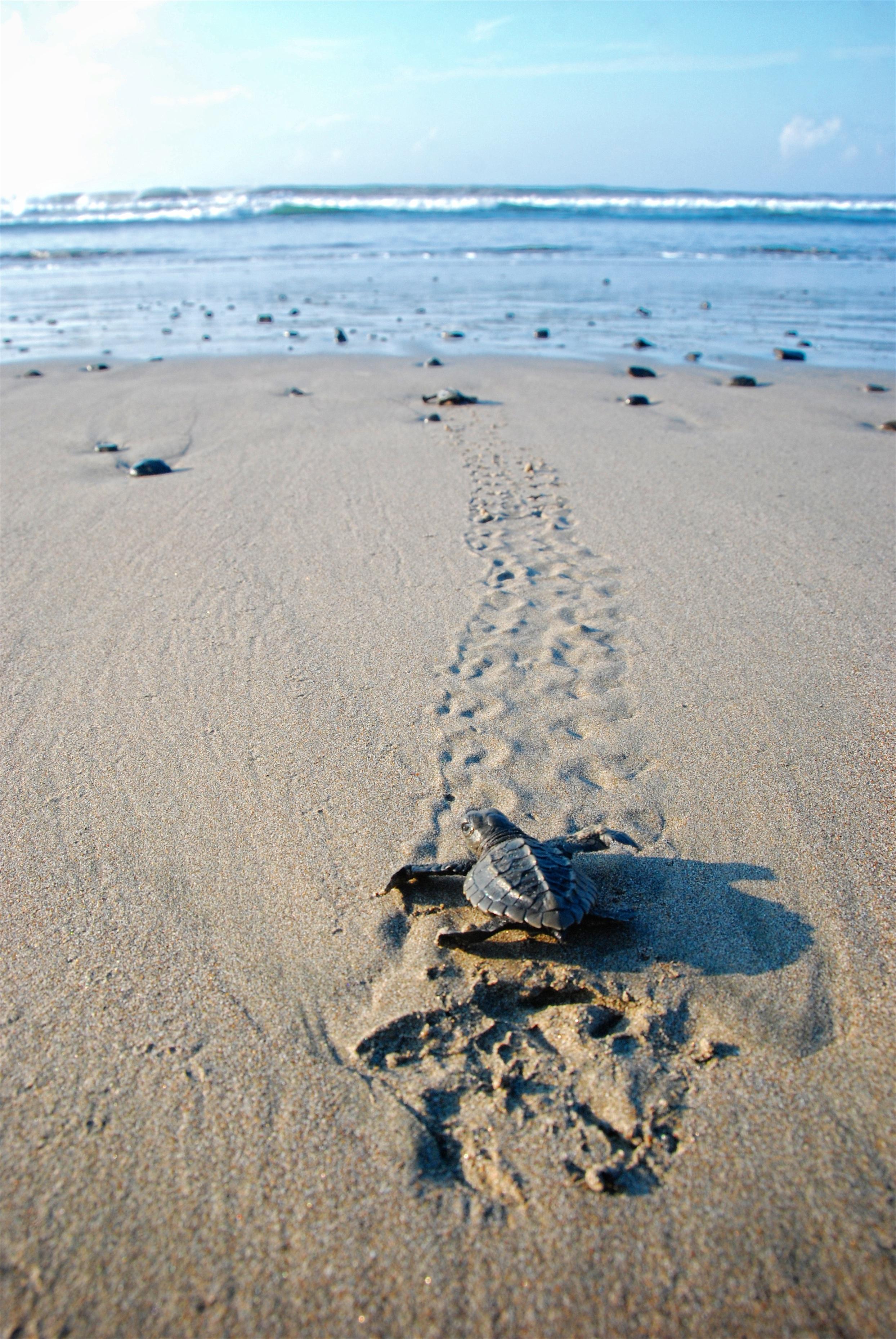 Baby sea turtle in Costa Rica