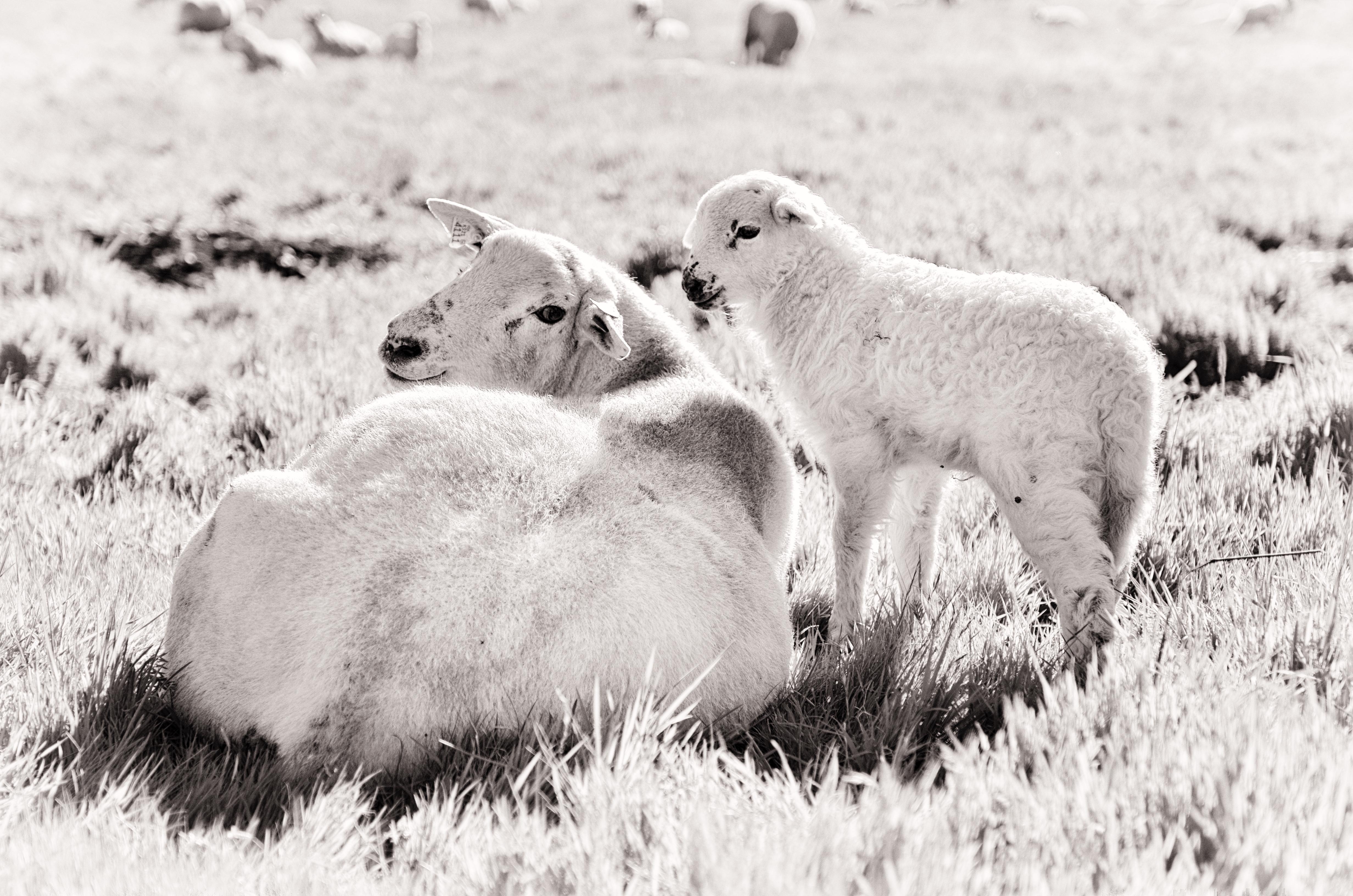 Sheep & Lamb at Paicines Ranch