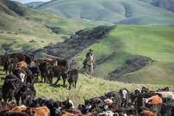 Morris Cattle grazing at Paicines Ranch