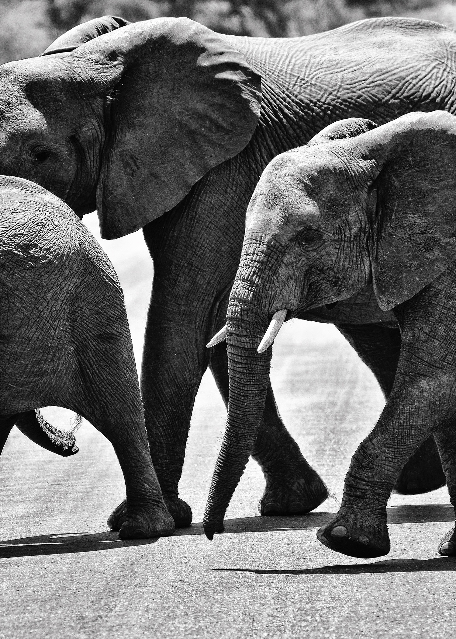 Elephant Herd in South Africa