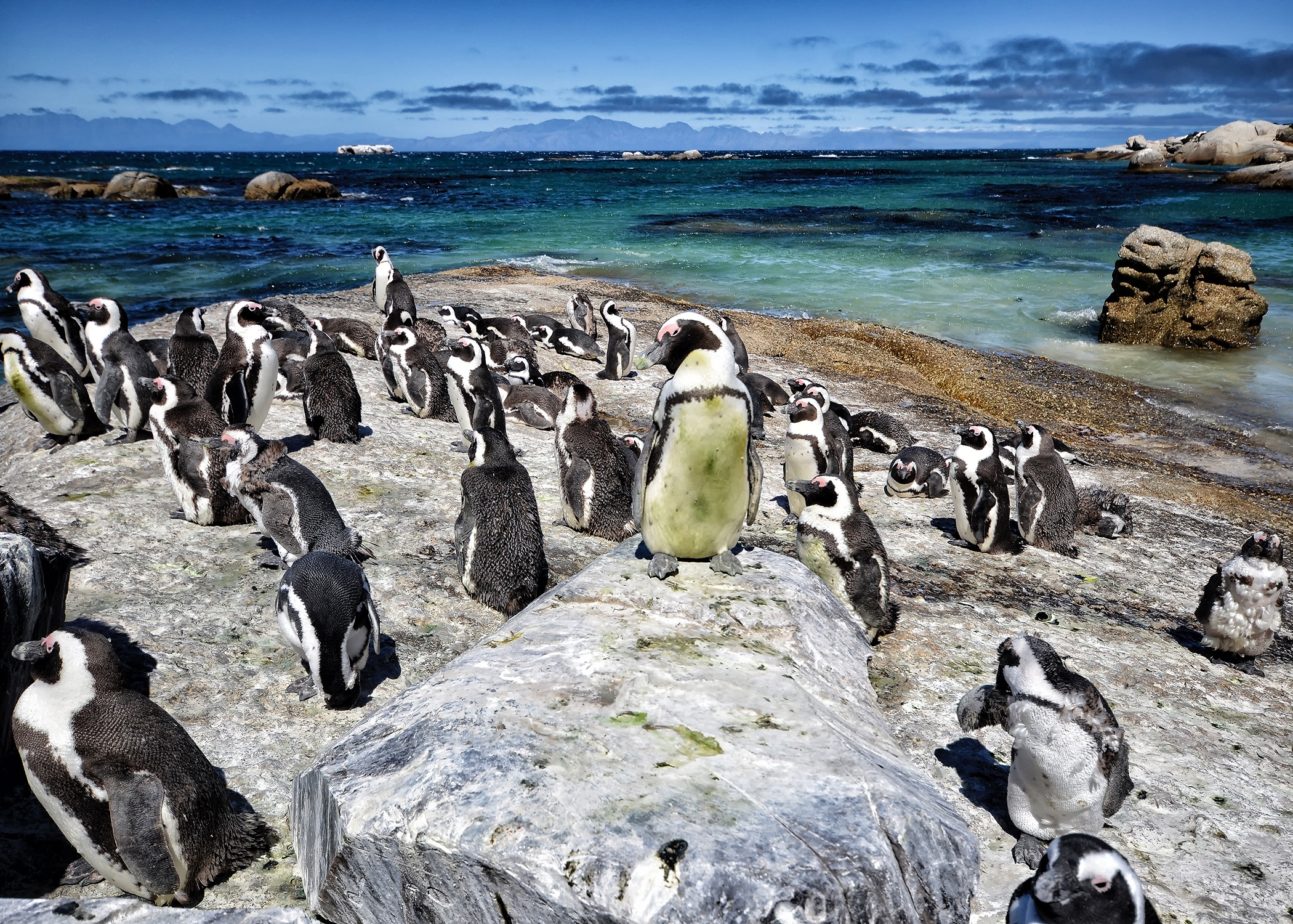 African Penguins at Boulder Beach