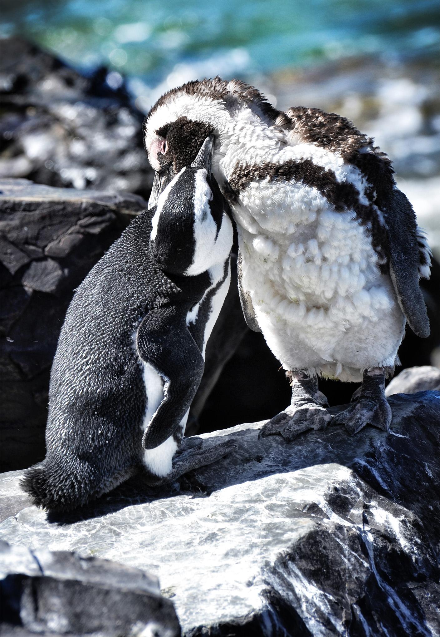 Preening African Penguins