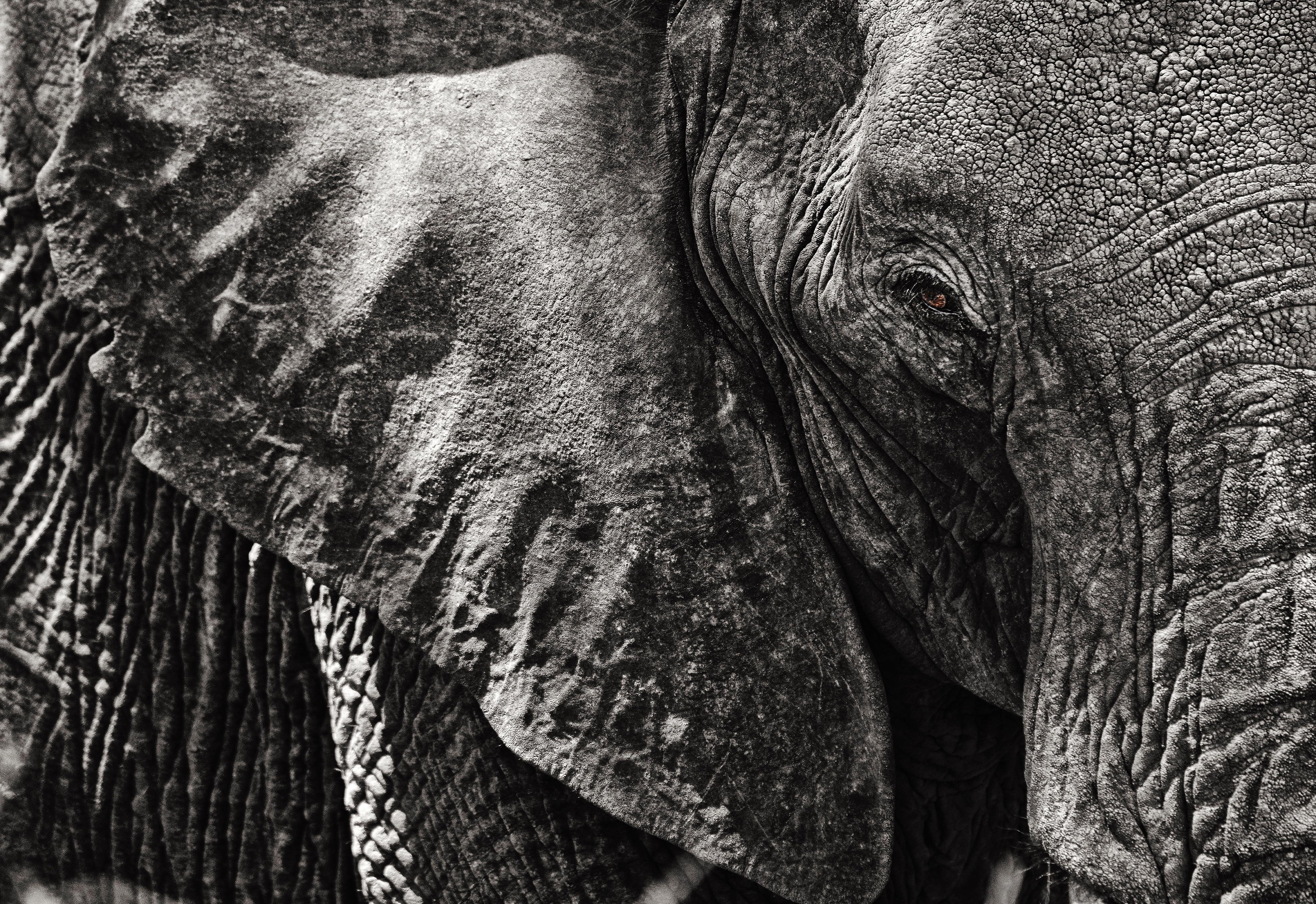 African Elephant in Kruger