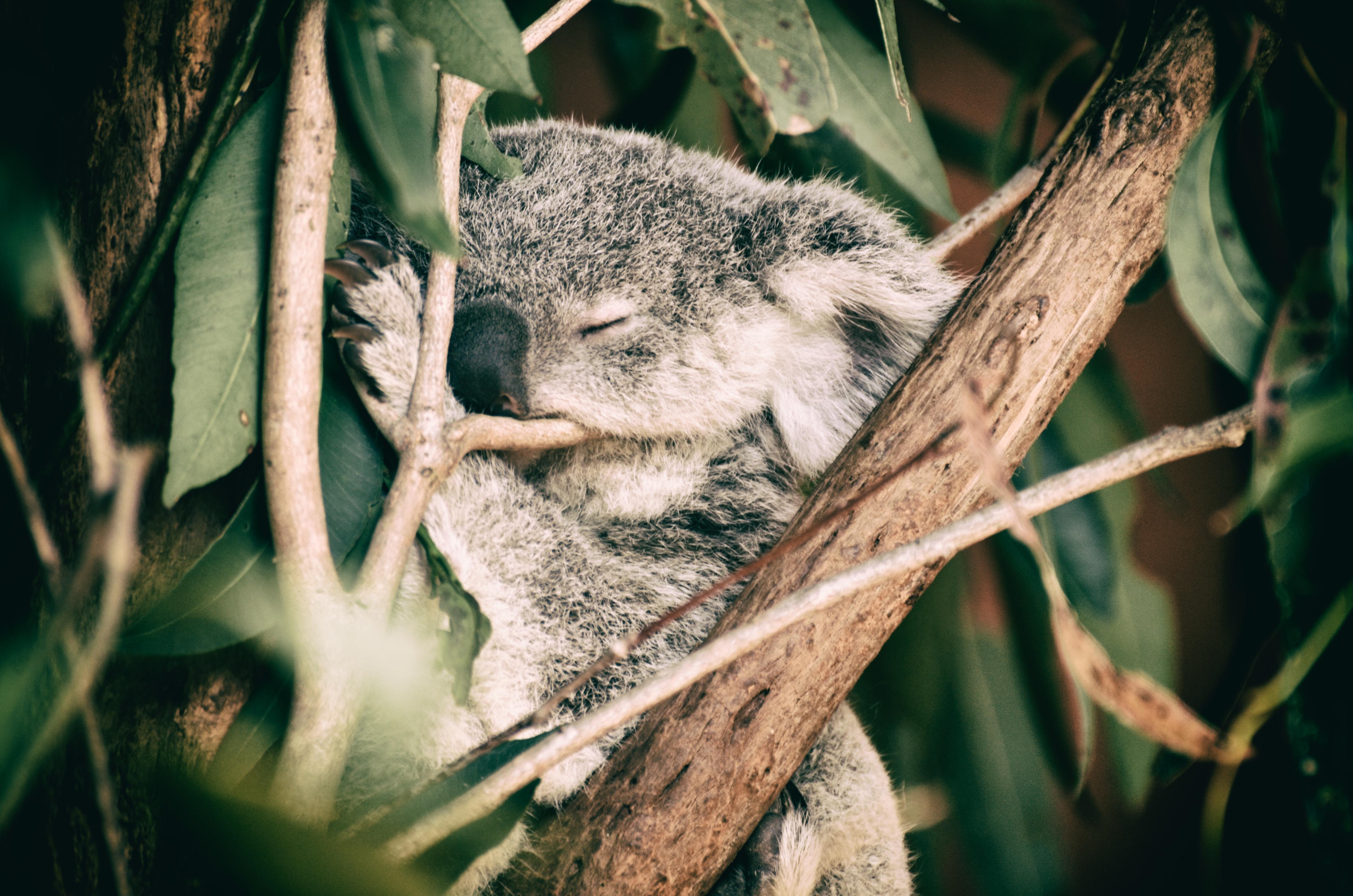 Baby Koala in Australia