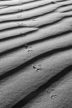 Pocket Mouse Prints in Dunes