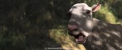 screaming_sheep_copyright