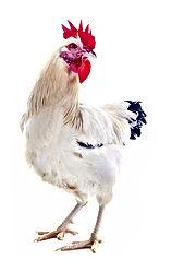 Coq Male Feeder