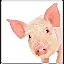 Équipement de Porcs