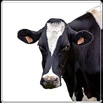 Équipement de Vaches