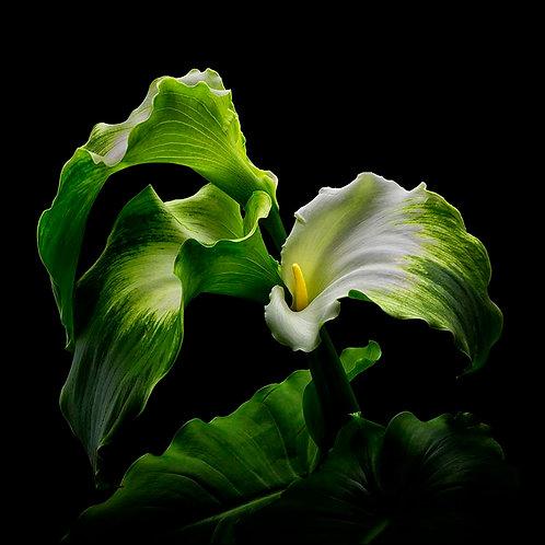 Green Goddess No.4A