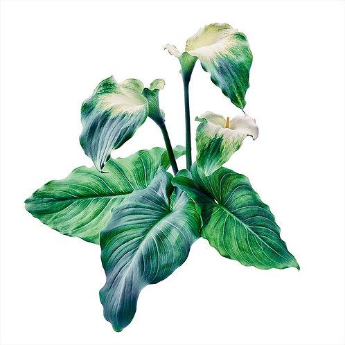 Green Goddess No. 5B