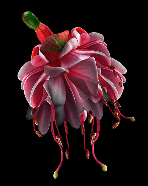 Fuchsia Pink No.3
