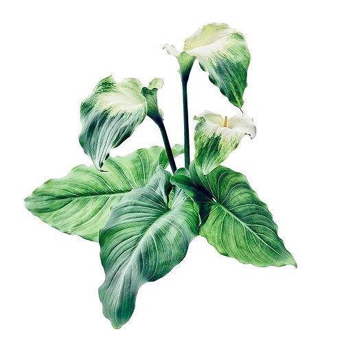 Green Goddess No. 5A