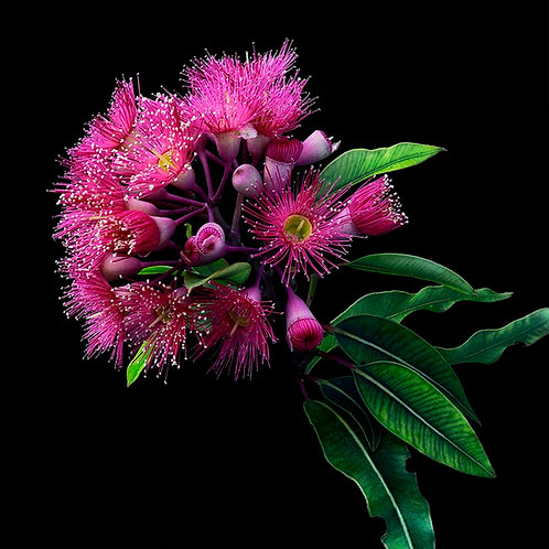 Pink Gum on Black No.1