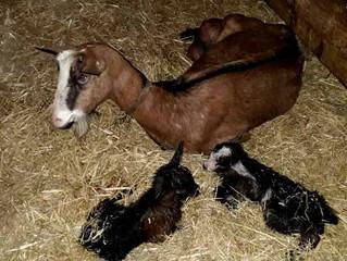 Des naissances à la ferme de Cathy