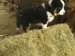 accueillons Django, le nouveau chien de berger