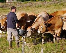 """sélectionneur d'aubrac dans le Mézenc, production de la viande """"le Fin Gras du Mézenc"""""""