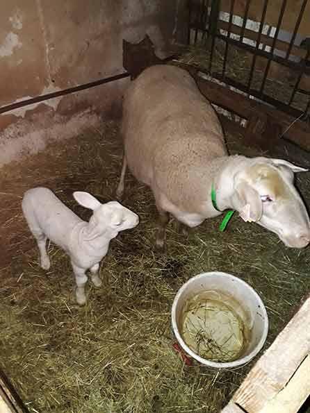 """flocon l'agneau né le 1er novembre à la ferme """"A la bonne Fourche"""""""