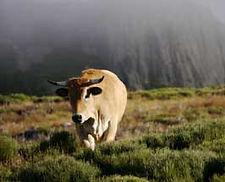 vache aubrac dans le mézenc