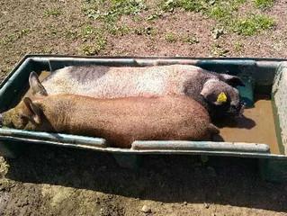 Canicule à la ferme ... une solution de cochon!
