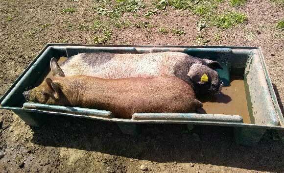 Solution de cochon à la canicule !