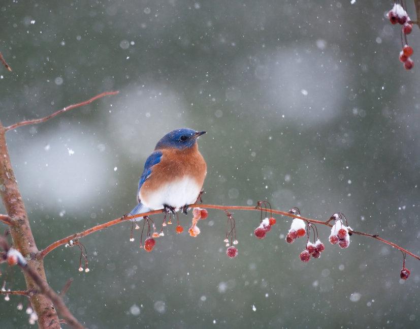 iStock-146966178_bird berries.jpg