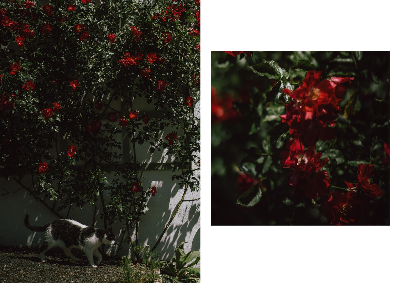 21 róże.jpg