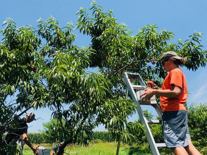 Crop Report: Peifer's Peaches!