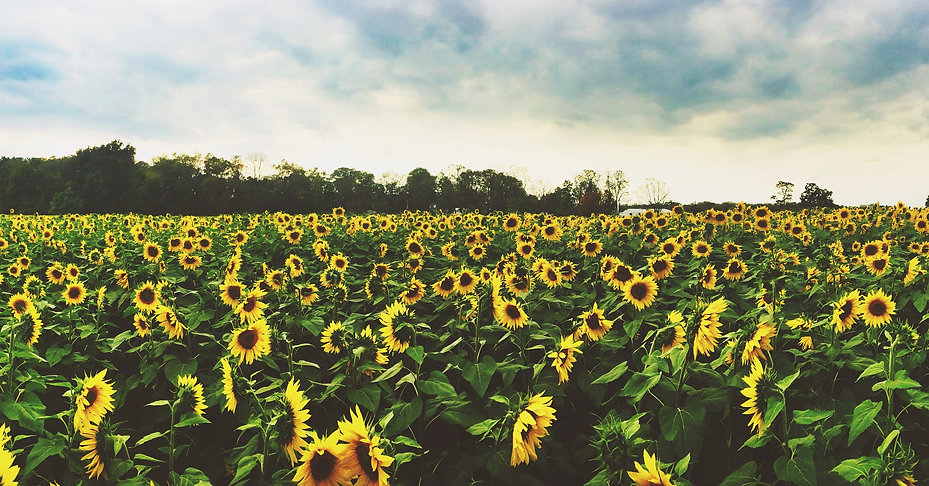 Sunflowers in Yellow Springs