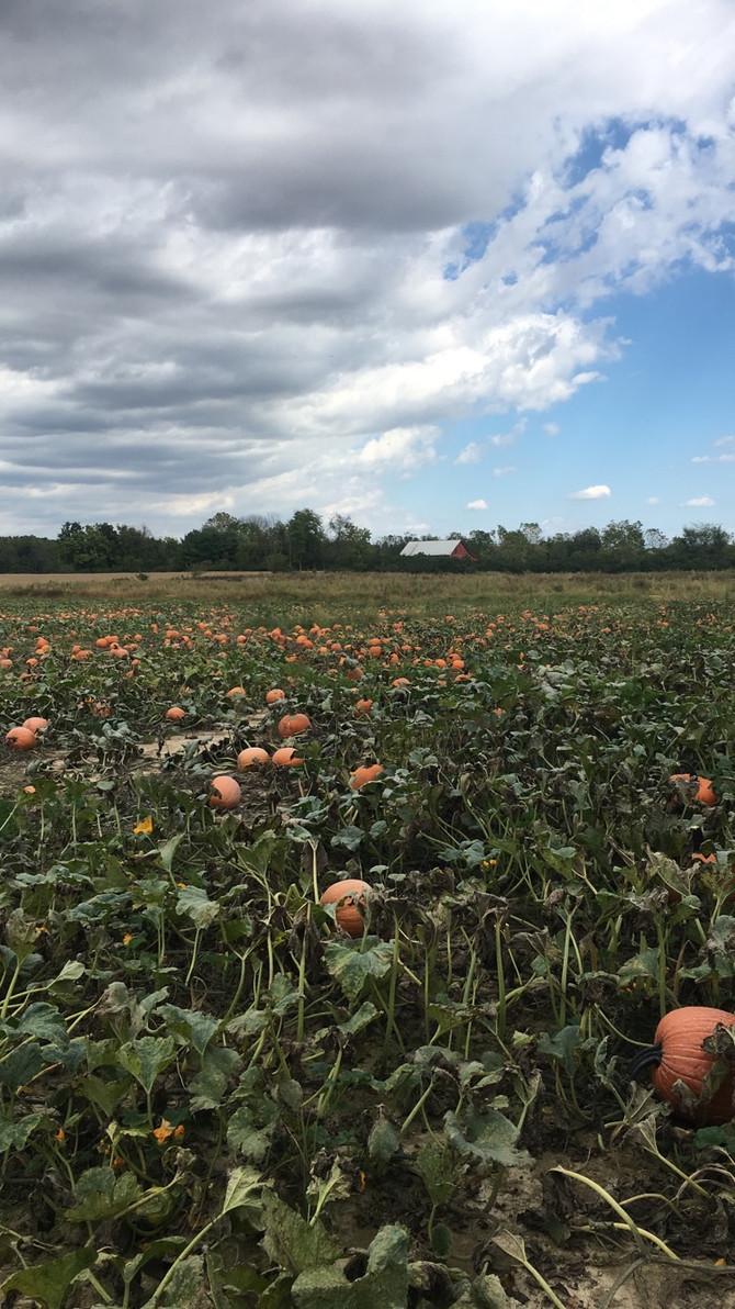 Crop Report: U-Pick Pumpkins!