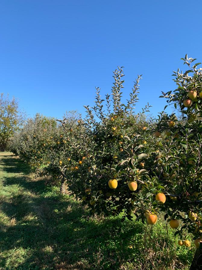 Crop Report: Late Autumn Apples