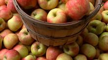 Crop Report: Fresh Picked Honeycrisp Apples!